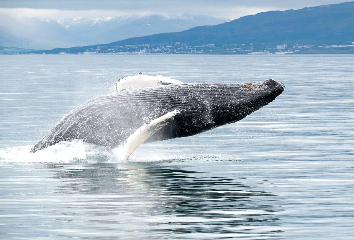 whales in akureyri iceland ambassador is