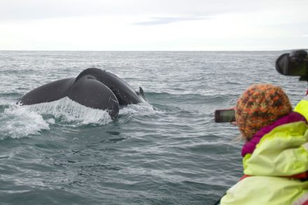 Ambassador Whale watching in Reykjavik