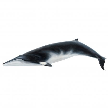 Minke-Whale