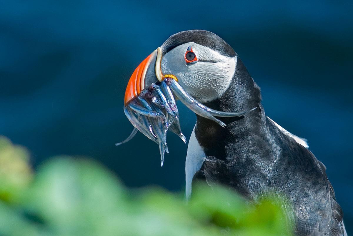 Puffins beak full of fish in Grimsey Island
