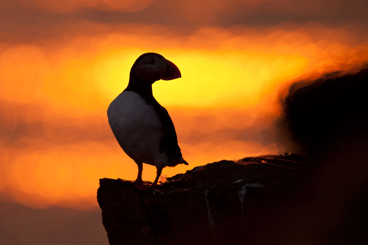 Puffin at sunset in Grimsey Island