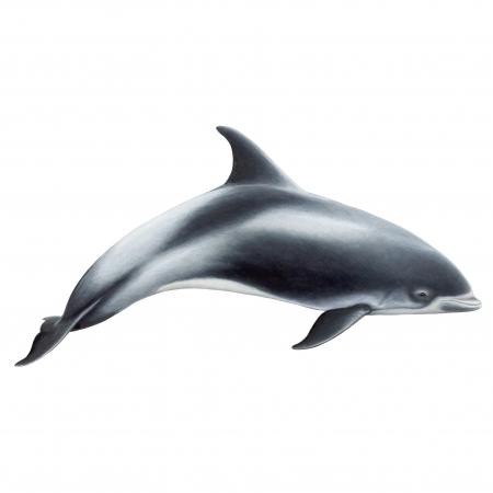 White-Beaked-Dolphin-e1446567016767