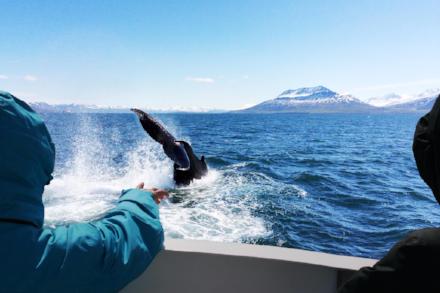 Reykjavik_Whale_Watching_Ambassador