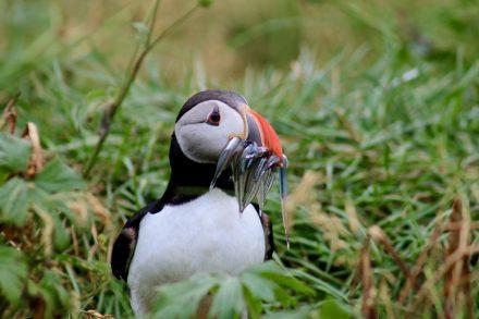 feeding-puffin